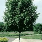 Cashman Nursery, Bismarck, ND, Acer Platanoides, Emerald Lustre Maple