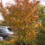 Cashman Nursery, Bismarck, ND, Autumn Brillance Serviceberry, Amelanchier, Ornamental Flowering Tree