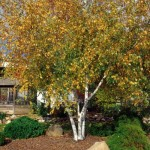 Cashman Nursery, Bismarck, ND, Betula Populifolia, Whitespire Birch