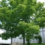 Cashman Nursery, Bismarck, ND, Celtis occidentalis, Common Hackberry