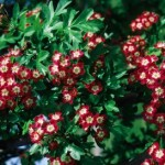 Cashman Nursery, Bismarck, ND, Crimson Cloud Hawthorn, Crataegus, Ornamental Flowering Tree