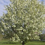 Cashman Nursery, Bismarck, ND, Malus, Spring Snow Flowering Crabapple