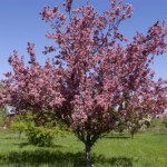 Cashman Nursery, Bismarck, ND, Thunderchild Flowering Crabapple, Malus