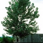 Cashman Nursery, Bismarck, ND, Populus tremuloides, Quaking Apen Poplar Tree