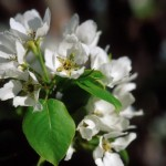 Cashman Nursery, Bismarck, ND, Pyrus, Mountain Frost Flowering Ornamental Pear Tree