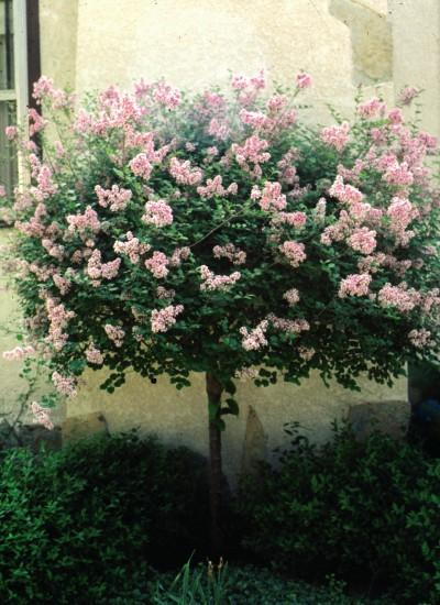 Cashman nursery ornamental trees for Dwarf flowering trees