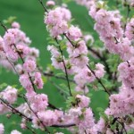 Cashman Nursery, Bismarck, ND, Prunus, Double Flowering Plum, Ornamental Flowering Tree