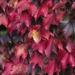 Cashman Nursery, Bismarck, ND, Parthenocissus tricuspidata, Boston Ivy