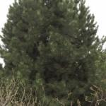 Cashman Nursery, Bismarck, ND, Pinus Austrian Pine, Evergreen