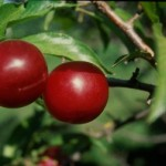 Cashman Nursery, Bismarck, ND, Toka Plum Fruit Tree
