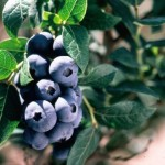 Cashman Nursery, Bismarck, ND, Chippewa Blueberry