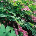 Dicentra Bleeding Heart, Cashman Nursery, Perennials for North Dakota
