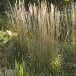 Cashman Nursery, Karl Forester Perennial Grass, North Dakota