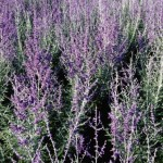 Cashman Nursery, Perovskia Russian Sage, Fall Flowering Perennial, North Dakota