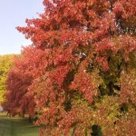 Cashman Nursery, Bismarck, ND, Acer Fremanii, Sienna Glen Maple