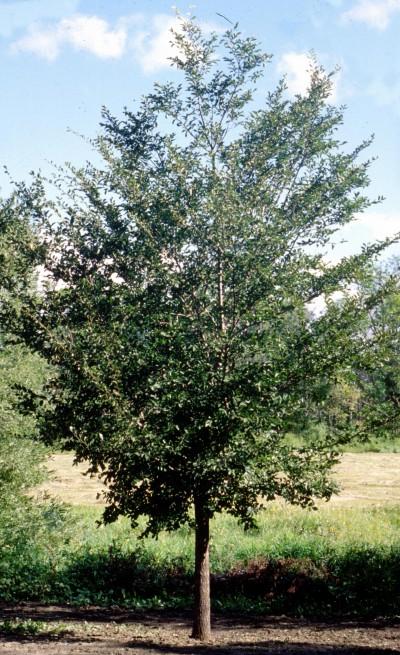 Cashman Nursery Shade Trees