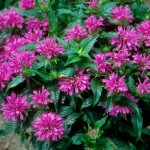 Cashman Nursery, Monarda, Grand Parade Bee Balm, Perennials North Dakota
