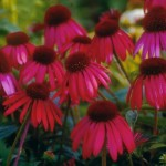Cashman Nursery, Echinacea Coneflower, Perennial for North Dakota