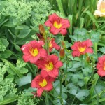 Ruby Stella Daylily with Sedum, Cashman Nursery, Perennials for North Dakota