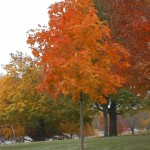 Cashman Nursery, Bismarck, ND, Acer Saccharum, Fall Fiesta Sugar Maple