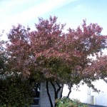 Cashman Nursery, Bismarck, ND, Acer, Embers Amur Maple