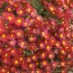 Cashman Nursery, Chrysmammothmum, Mammoth Red Daisy Mum, Perennials for North Dakota