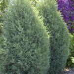 Cashman Nursery, Bismarck, ND, Juniperus Medora Juniper Evergreen
