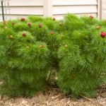 Cashman Nursery, Fern Leaf Peony, Perennial for North Dakota