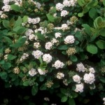 Cashman Nursery, Bismarck, ND, Spiraea betulifolia, Tor Birchleaf Spirea
