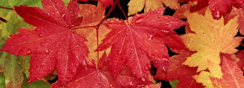 autumn-leaves-desktop-wallpaper-hd-pictures-stockpict_vine-maple-leaves-in-autumn-wallpaper