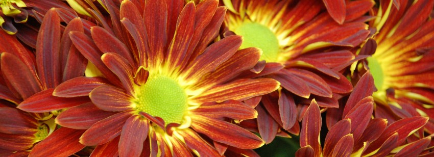 mums-flowers-3008x2000-usually-most-people-think-of-mums-as-fall-flowers-did-you-know-moyuc.com